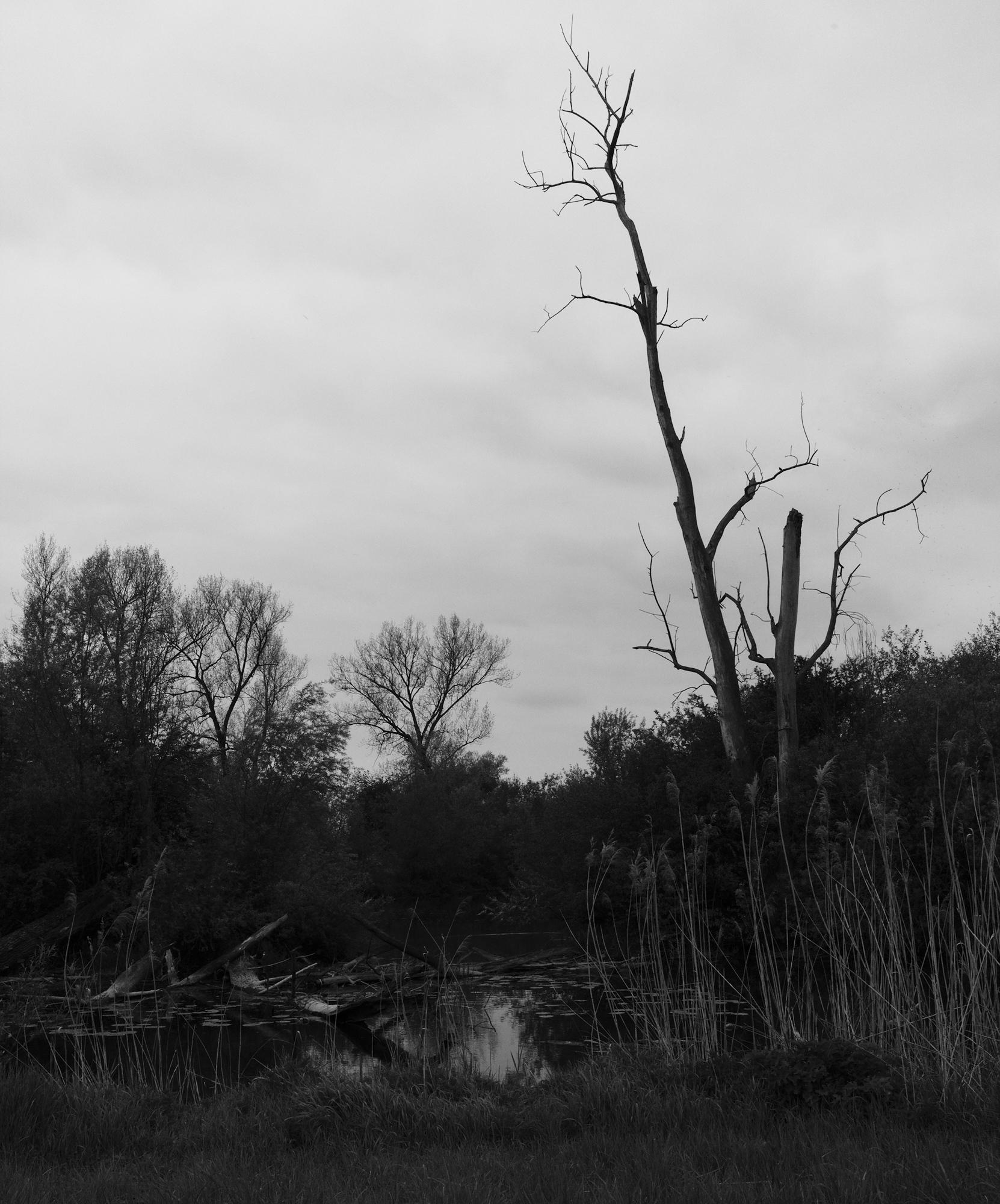dead tree Danube