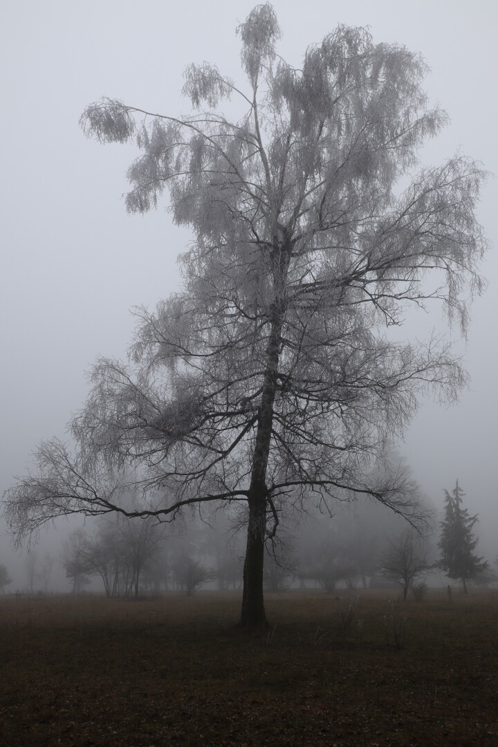 a frosted over tree