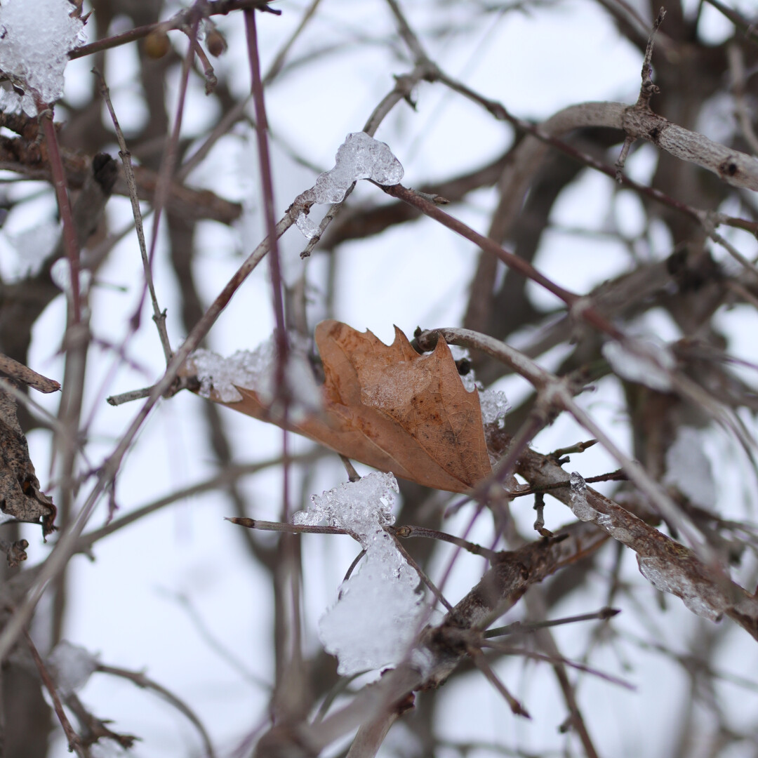a single brown leaf on a wintry tree