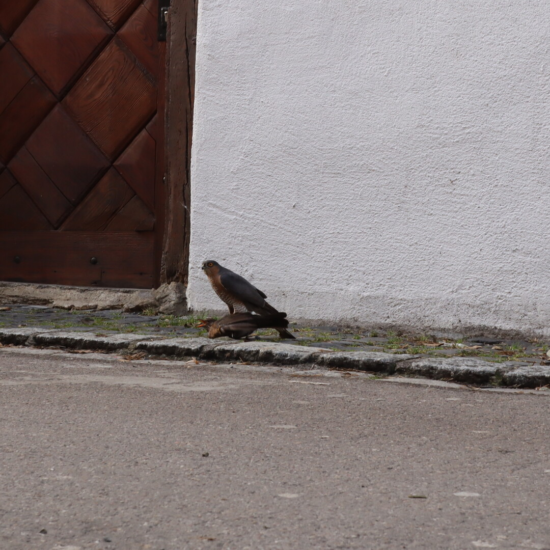 a hawk with his prey on a city-street